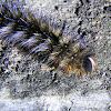 Common Anthelid Caterpillar