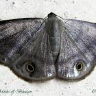Geometridae Ennominae Baptini