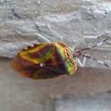 stink / shield bug