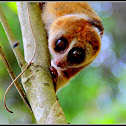 Borneo slow loris