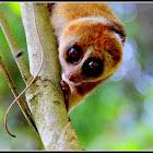 Borneo slow loris