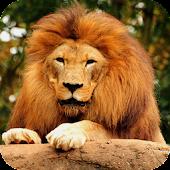 Savanna Lion HD live wallpaper