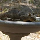 Texas Fox Squirrel