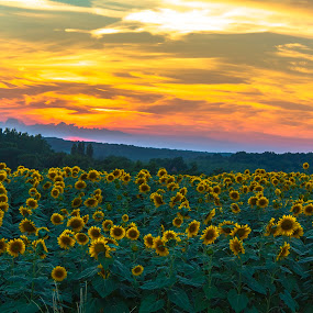 Sunflowers @ Sundown by Marcel de Groot - Flowers Flowers in the Wild ( gers, sunflowers, sundown, france, yellow, , golden hour, sunset, sunrise, Earth, Light, Landscapes, Views )