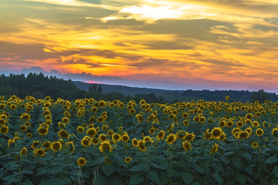 Sunflowers @ Sundown by Marcel de Groot - Flowers Flowers in the Wild ( gers, sunflowers, sundown, france, yellow, , golden hour, sunset, sunrise, Earth, Light, Landscapes, Views )