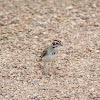 Larks Sparrow