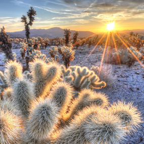 Sunrise Above Cholla Cactus by Cliff LaPlant - Landscapes Sunsets & Sunrises ( joshua; tree; joshua tree; national; park; desert; nikon; california; sierralara; photography; hiking; camping; scenery; beauty; discover; discovery; usa; united states; america; united states of america; cactus; chollas cactus; chollas; sun; sunrise; sunburst; joshua tree national park; scenic; light; outdoors; sunshine; color; clouds )