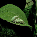 Blue-Green Citrus Root Weevil