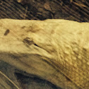 Albino American Alligator