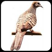 Burung Perkutut Master