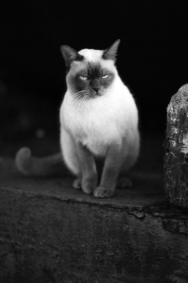 by Ld Mark - Animals - Cats Portraits ( black and white, animal )