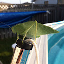 greater angle-wing katydid