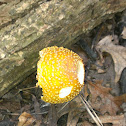 American Eastern Yellow Fly Agaric