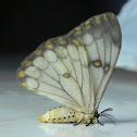 Apollo Moth