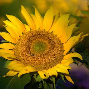 by John Hale - Flowers Single Flower ( Hope,  )