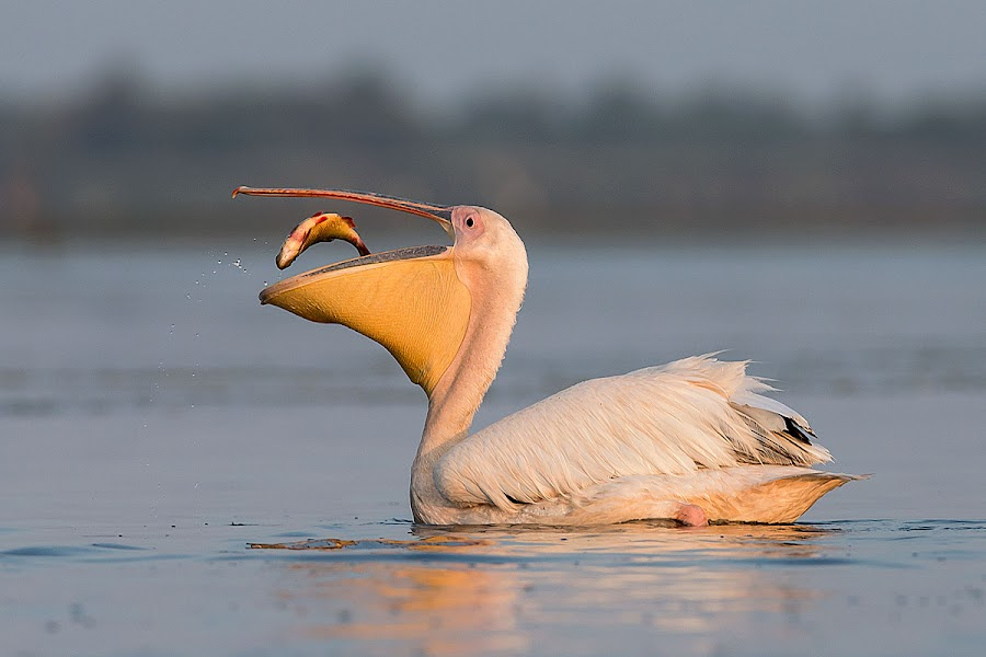 Pelecans fishing by Ionel Onofras - Animals Birds ( danube delta, plecans, wilde, birds fishing, wildlife, birds )