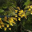 Orchid lluvia de oro