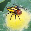 Alpaida spider with egg sack