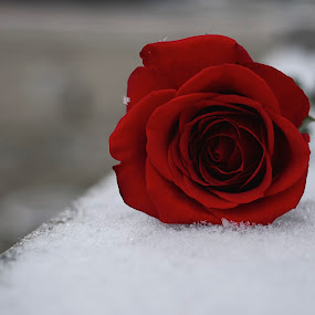 Flower by Jack Goras - Flowers Single Flower ( love, rose, red, snow, beautiful,  )