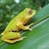 Shrub frog