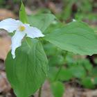 Large-Flower Trillium