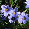Californian Blue-Eyed Grass