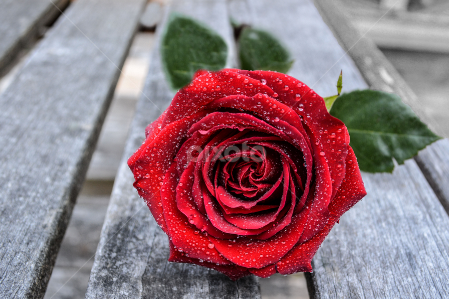 Rose by Jeanne Knoch - Flowers Single Flower (  )