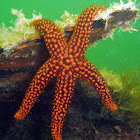 Pacific Blood Star
