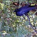 Australian Crow