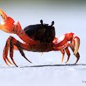 Blackback Land Crab
