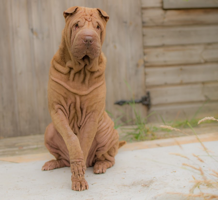 GIVE US A PAW  by Michael  M Sweeney - Animals - Dogs Portraits ( murphy sharpei dog, doggy, d800, paw, sharpei, michael m sweeney, nikon, dog, murphy, dog scotland )