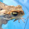 Sapo, Cane toad