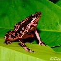 Harlequin frog