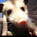Opossum or possum