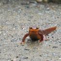 (California newt)