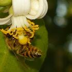 Abeja europea, honey bee