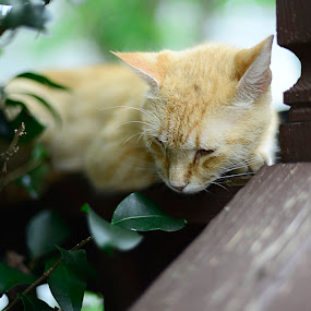 Sleepy Spicey by Shannon Warren - Novices Only Pets ( sleeping cat, cat, sleepy, sleeping )