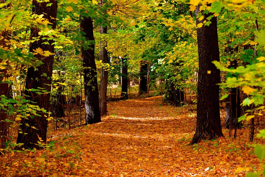 Autumn Trail by Carl Testo - Landscapes Forests ( hcl, autumn, forest )
