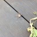 Nursery web spider (female with egg sac)