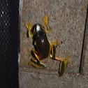 Dainty Tree Frog (Graceful Tree Frog)