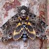 Death's Head Hawk Moth (Bee Robber)
