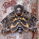 Death's Head Hawk Moth (Bee Robber)