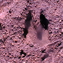 white tailed deer track