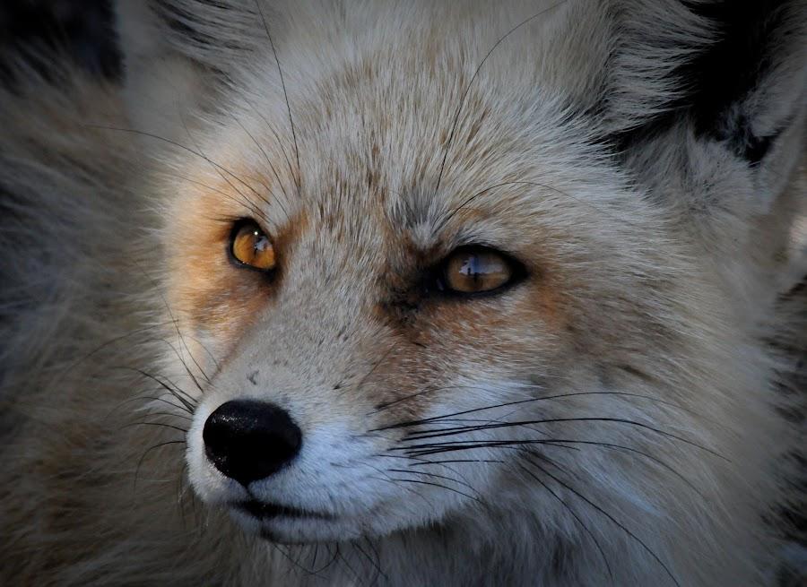 Close up fox by Desiree DeLeeuw - Animals Other Mammals ( mammals, fox, nature, wildlife, new jersey )
