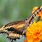 C:\Users\Jim\Pictures\0Pixoto\BYGiant Swallowtail3.jpg