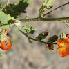 orange mallow