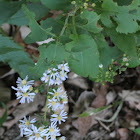 Eastern Aster