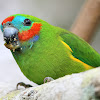 Double-Eyed Fig Parrot ( Male )