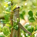 Yellow-striped grasshopper