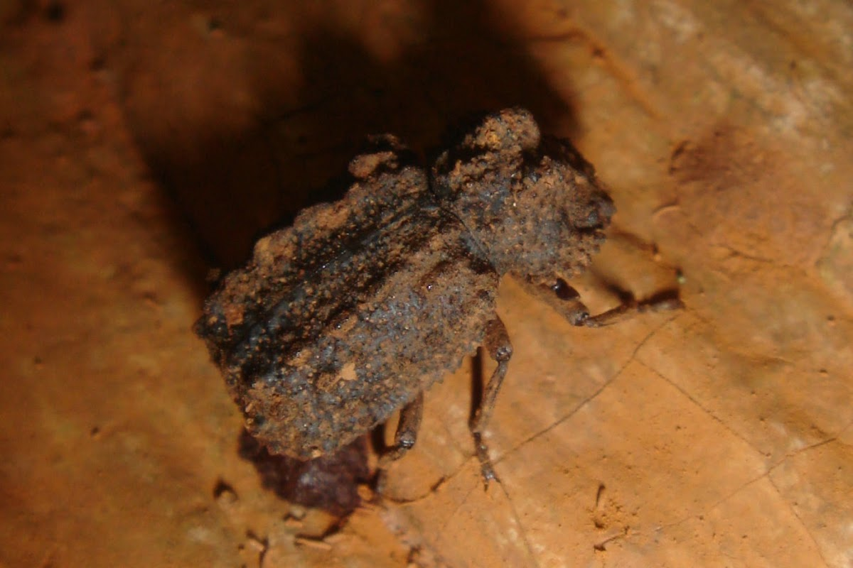 Forked Fungus Beetle